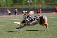Het spelen van de hond in vliegende schijf Stock Afbeelding