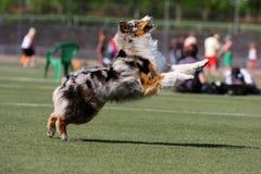 Het spelen van de hond in vliegende schijf Royalty-vrije Stock Fotografie