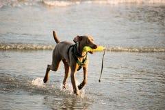 Het spelen van de hond in water Royalty-vrije Stock Foto's