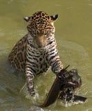 Het spelen van de jaguar Stock Foto