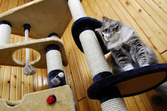 Het spelen van de kat in een reusachtig kat-huis en neer het kijken Stock Foto