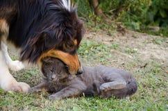 Het spelen van de kat en van de hond Stock Fotografie