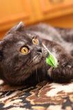 Het spelen van de kat met stuk speelgoed stock foto