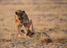 Het spelen van de leeuwin met welp Stock Fotografie
