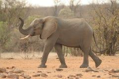 Het spelen van de olifant Royalty-vrije Stock Afbeeldingen