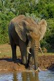 Het spelen van de olifant Stock Foto's