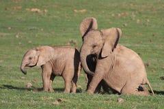 Het Spelen van de Olifanten van de baby Royalty-vrije Stock Foto