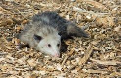 Het spelen van de opossum opossum Stock Foto's