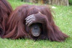 Het spelen van de orangoetan stock afbeelding