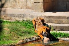 Het spelen van de tijger in het water Stock Afbeeldingen