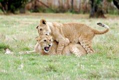 Het spelen van de Welpen van de leeuw Royalty-vrije Stock Afbeelding