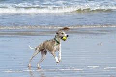 Het spelen van de whippet met bal bij strand Royalty-vrije Stock Foto