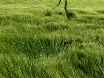Het spelen van de wind met het graan Stock Foto's