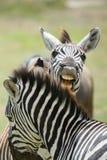 Het Spelen van de zebra in The Sun stock afbeelding