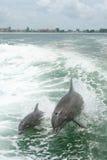 Het spelen van dolfijnen Stock Foto's