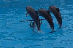 Het spelen van dolfijnen stock afbeelding