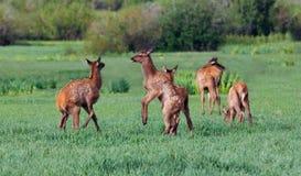Het Spelen van Fawns van elanden Royalty-vrije Stock Afbeelding