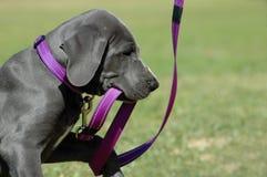 Het spelen van het puppy met uitloging Royalty-vrije Stock Afbeelding