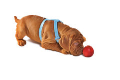 Het Spelen van het Puppy van Dogue DE Bordeaux Royalty-vrije Stock Afbeeldingen