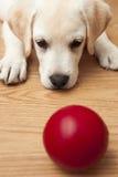 Het spelen van het Puppy van Labrador Stock Afbeelding