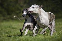 Het spelen van honden Royalty-vrije Stock Afbeeldingen