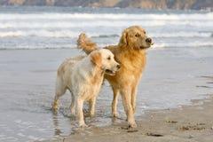 Het spelen van honden Stock Foto