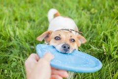 Het spelen van Jack Russell Terrier van het hondras royalty-vrije stock afbeeldingen