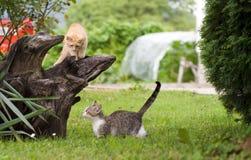 Het spelen van katten Stock Afbeelding