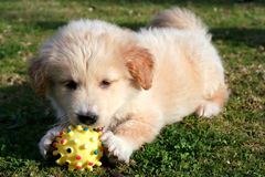 Het spelen van Labrador op gras Royalty-vrije Stock Foto's