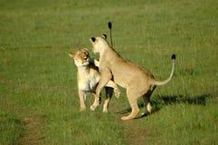 Het spelen van leeuwen Royalty-vrije Stock Afbeeldingen