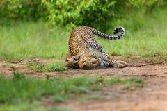Het spelen van luipaardbahati met haar welp in Masai Mara, Kenia Stock Afbeeldingen