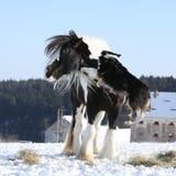 Het spelen van Nice border collie met een paard Royalty-vrije Stock Foto's