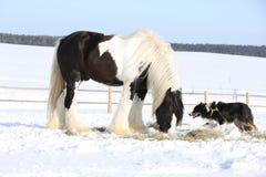 Het spelen van Nice border collie met een paard Stock Foto