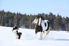 Het spelen van Nice border collie met een paard Stock Fotografie