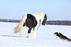 Het spelen van Nice border collie met een paard Stock Foto's