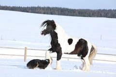 Het spelen van Nice border collie met een paard Stock Afbeeldingen