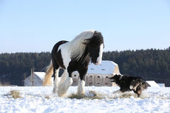 Het spelen van Nice border collie met een paard Stock Afbeelding