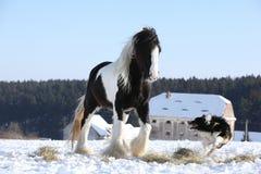 Het spelen van Nice border collie met een paard Royalty-vrije Stock Afbeelding