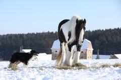 Het spelen van Nice border collie met een paard Royalty-vrije Stock Foto