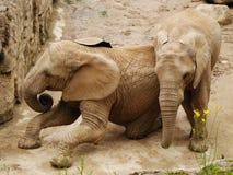 Het spelen van olifanten Stock Foto's