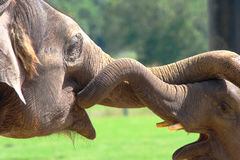 Het Spelen van olifanten Royalty-vrije Stock Afbeelding