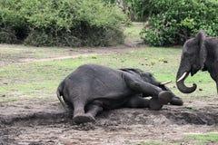 Het spelen van olifanten Royalty-vrije Stock Foto