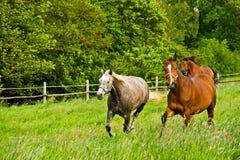 Het spelen van paarden. Stock Afbeelding