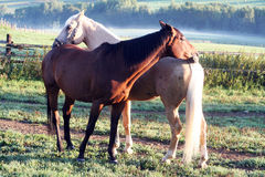 Het spelen van paarden Stock Foto's