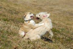 Het spelen van puppy Royalty-vrije Stock Fotografie