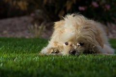 Het spelen van het puppy in het gras Stock Foto