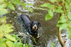 Het spelen van Rottweiler in het water Stock Fotografie