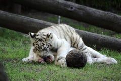 Het spelen van tijgers Royalty-vrije Stock Afbeeldingen