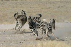 Het spelen van Zebras Royalty-vrije Stock Afbeeldingen