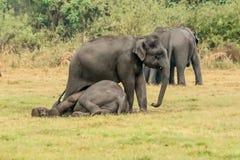 Het spelen wilde olifanten Stock Afbeelding